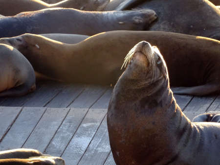 overcrowded: Large group of Sea Lions rest with one lifting head in air near Pier 39 in San Francisco, California.