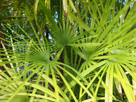 Many Palm leaves as a background texture Imagens