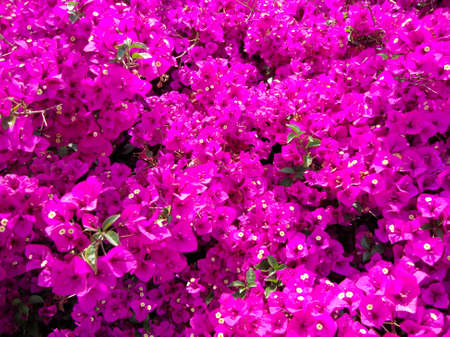 tons: Close-up of tons of Beautiful blooming Pink Bougainvillea Flowers.