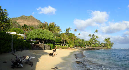 beach hunk: Man Handstanding on Makalei beach with black dog sniffing him as wave roll on to shore on Oahu, Hawaii.