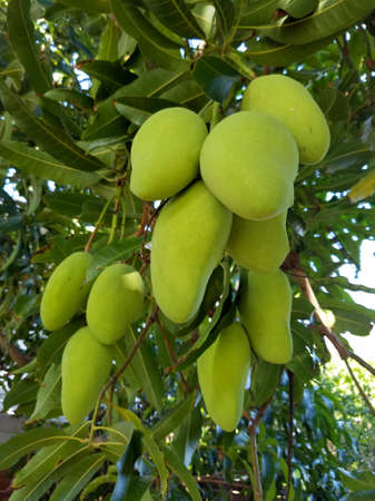 Green common chinese mangos of different sizes hang from tree full of green leafs on Oahu, Hawaii. 版權商用圖片
