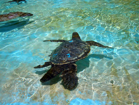 Waimanalo - April 24, 2010:   Captive Hawaiian Sea Turtles swim under the shallow water.  The turtles sport colored letters on their backs to help identify them. Stock Photo