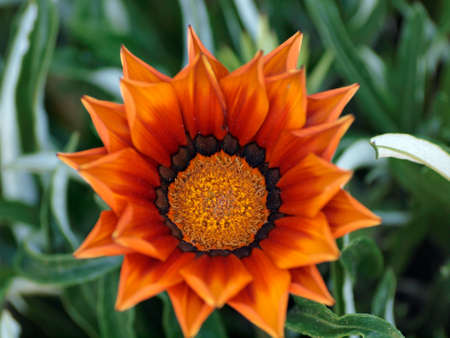 Gazania Lineraris Orange Flower in Bloom surround by curvy leafs and other flowers almost ready to bloom.  Gazania linearis is a species of flowering plant in the daisy family known by the common name treasure flower.