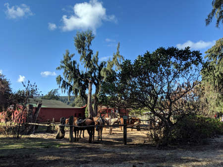 Horse eats at North Shore Stable with trees in the distance on Oahu, Hawaii.