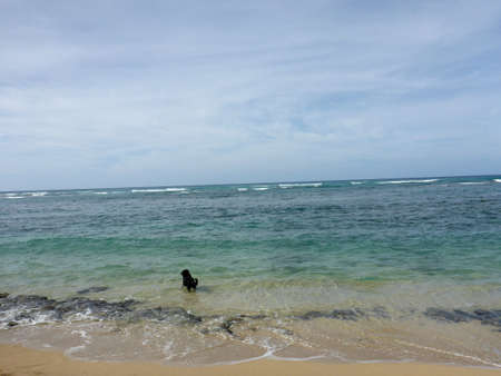 Black retriever Dog in the water at Makalei Beach  among the rocks view of Pacific ocean off coast of Oahu, Hawaii.