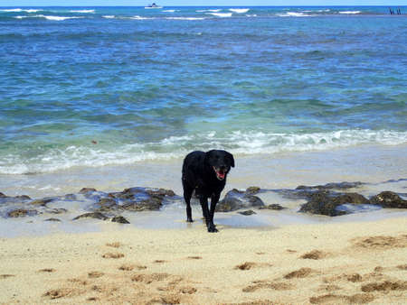 Black retriever Dog with tongue hanging out at at Makalei Beach  among the rocks view of Pacific ocean off coast of Oahu, Hawaii.