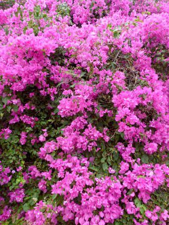 Close-up of Beautiful blooming Pink Bougainvillea Flowers.