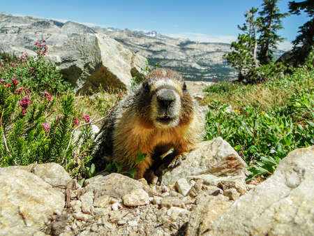 Friendly Marmot Looking Right Into The Camera On Mount Hoffman, Yosemite National Park, California, United States Of America