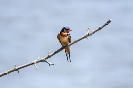 A Beautiful Barn Swallow (Hirundo rustica) Sits Alone On A Branch In The Sun