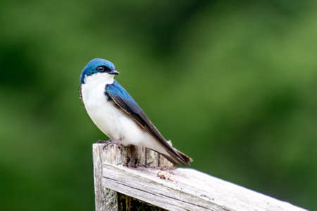 A Beautiful Tree Swallow Perches On A Nestbox In A Meadow Reklamní fotografie
