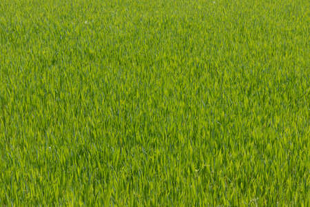 Uniform Bright Green Young Grass Texture Growing in a Sunny Field Imagens