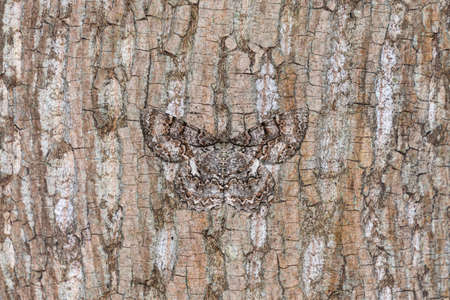 A tulip-tree beauty moth (Epimecis hortaria) camouflages against the brown bark of a tree in the forest