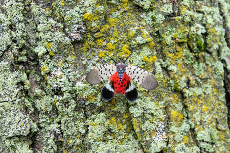 Spotted lanternfly (Lycorma delicatula), an invasive pest, holds its wings open, exposing its bright red underwings