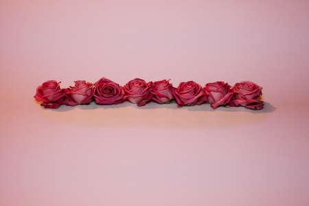 alineaci�n: alineamiento de rosas en un fondo de color rosa Foto de archivo