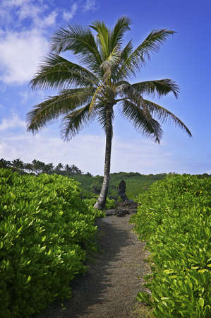 Palm Tree along the Hana Coast, Maui, Hawaiian Islands photo