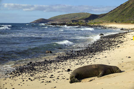 Endangered Monk Seal Sunbathing on Oahu photo