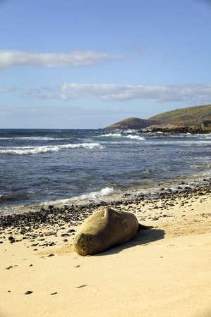 Endangered Monk Seal Sunbathing on Oahu Stock Photo - 7061368