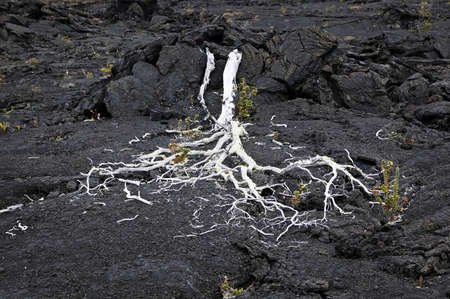 Dead Tree & Lava Field, Volcanoes National Park, Hawaii Stock Photo - 7814769