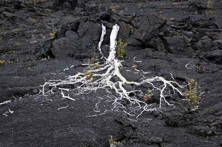 Dead Tree & Lava Field, Volcanoes National Park, Hawaii photo