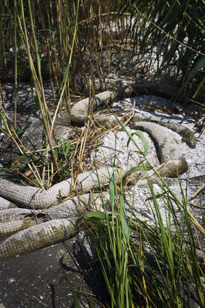 oil spill: Dirty Beached Oil Boom & Marsh Grass, Gulf Coast