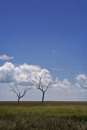 Skeletal Trees in Wide-Open Marsh, Louisiana Stock Photo