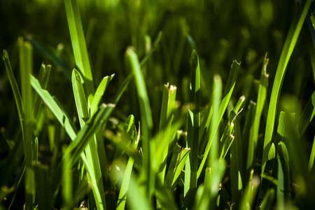 Green Grass in Early Morning Sunlight