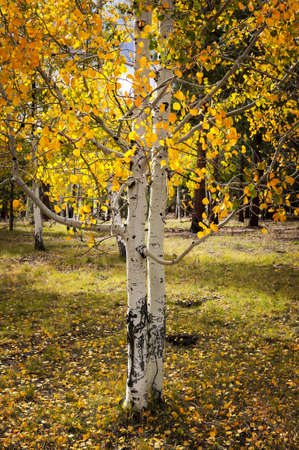 Aspen Grove at the Grand Canyon photo