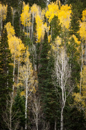 Yellow Aspens   Evergreens Stock Photo - 14696133
