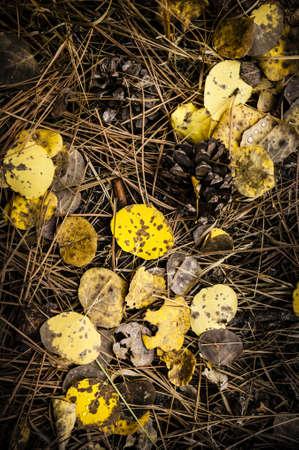 Aspen Leaves, Pine Needles,   Pine Combs Stock Photo - 14696128