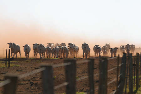 Nellore beef cattle from Brazilian farms in the dust