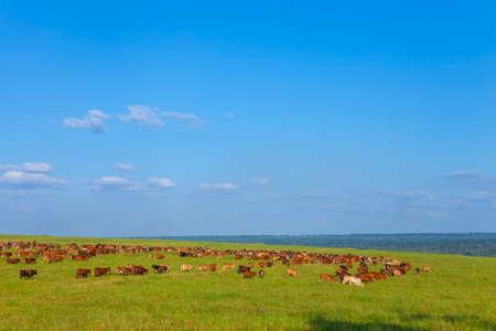 herd on farm pasture, Mato Grosso do Sul, Brazil, Bonsmara breed,