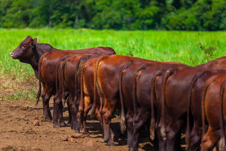 herd on the farm, Mato Grosso do Sul, Brazil, Bonsmara breed, African breed,