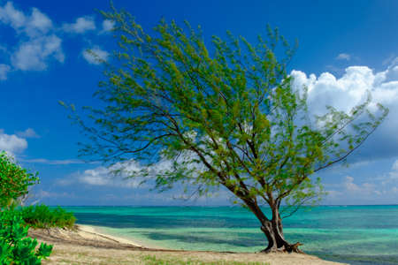 Single tree on one of West Bay beach, Grand Cayman