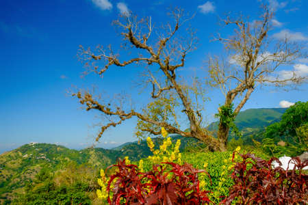 View of a dead tree in the Blue Mountains, Jamaica