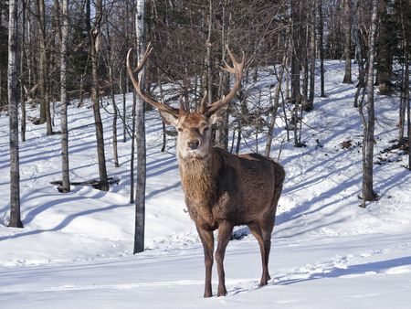 Male Red Deer in winter photo