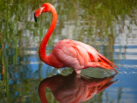 Pink flamingo standing with water reflections