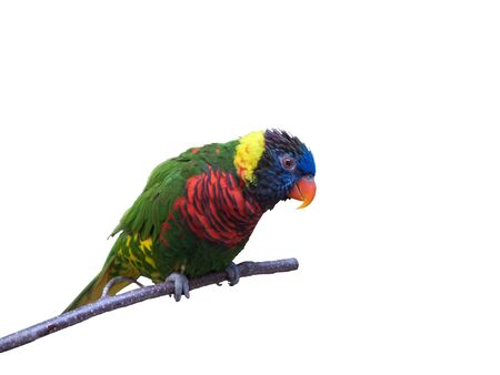 Friendly parrot sitting on branch on pure white background Stockfoto