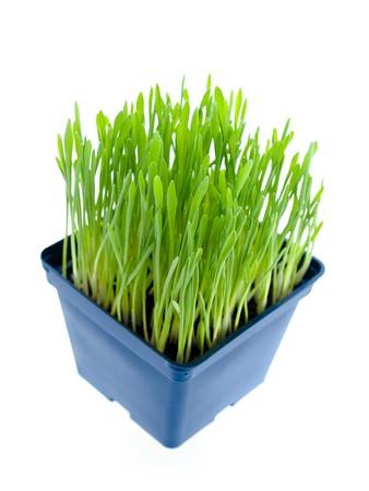 nepeta cataria: pianta