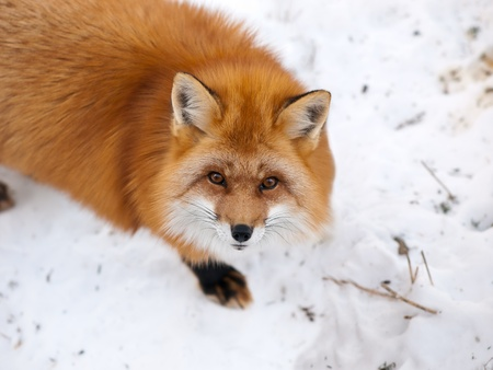 Wild red fox in snow looking upward