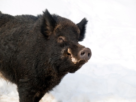 smilling: Friendly male boar looking and smilling at us