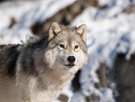 Alfa lobo ártico masculino viendo en nieve Foto de archivo