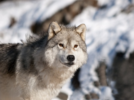 Alpha male arctic wolf watching in snow 版權商用圖片