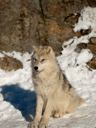Young wolf pup calm attentive sitting in the snow Stock Photo - 8519565