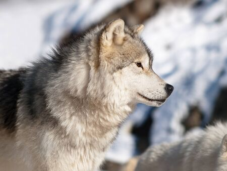 Artic wolf in winter photo