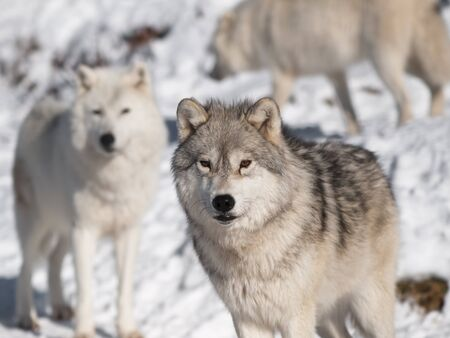 Artic wolf in winter Stock Photo - 8566132