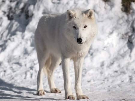 Artic wolf in winter. photo