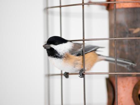 Great tit bird on feeder in winter photo