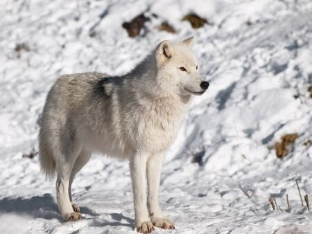 Arctic wolf in winter in natural environment photo