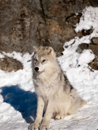 Young wolf pup calm attentive sitting in the snow photo