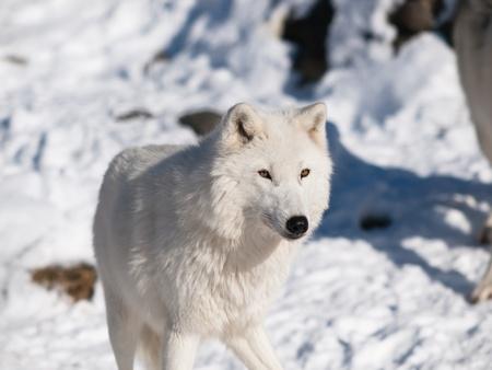 Lupo artico in inverno in ambiente naturale Archivio Fotografico - 8855380